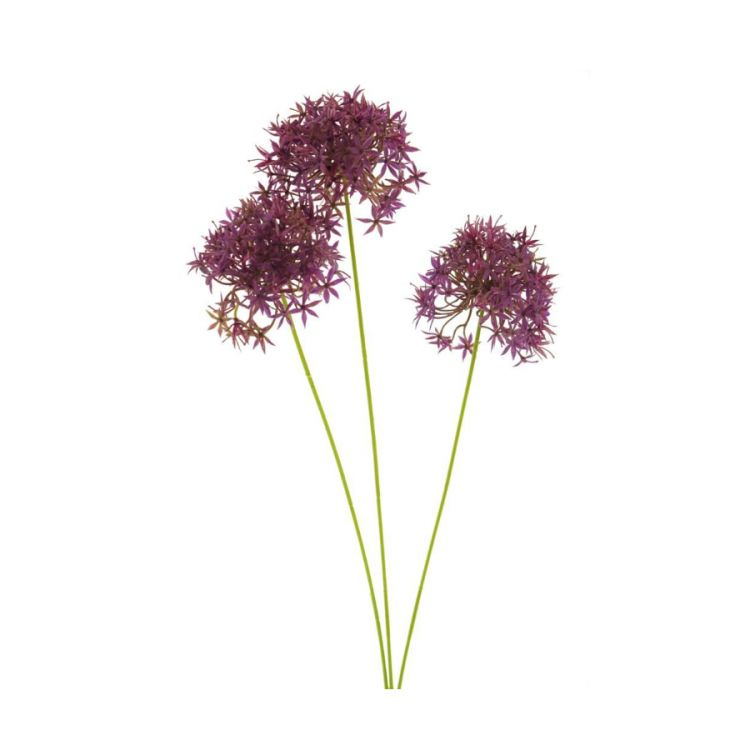 3 Allium Fuchsia 60 cm