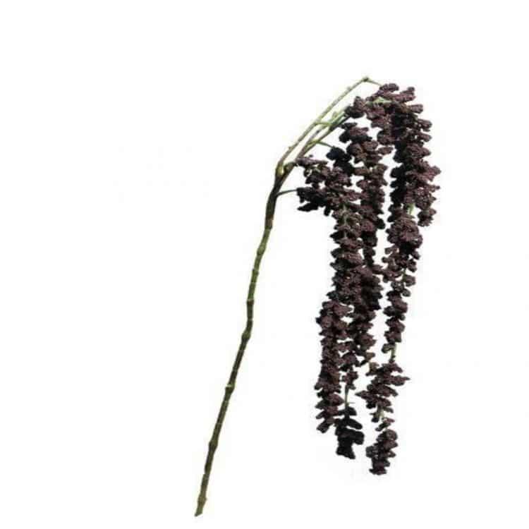 Kattenstaart-Amarant Aubergine 105 cm
